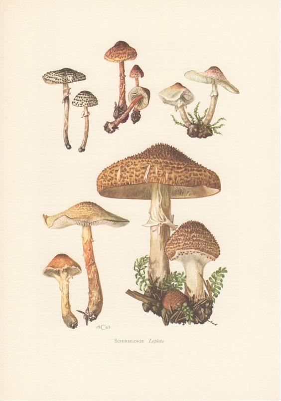 1963 Freckled Dapperling, Mushroom Illustration Print, Vintage.