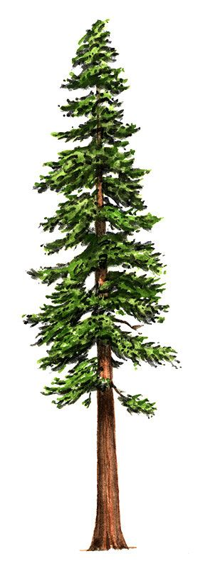 Giant redwood clipart #16