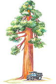 Redwood tree Illustrations and Clip Art. 31 redwood tree royalty.