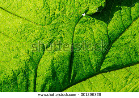 Rhubarb Leaves Stock Images, Royalty.