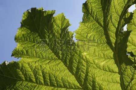 Rhubarb Leaf Stock Photos Images. Royalty Free Rhubarb Leaf Images.