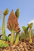 """Pictures of """"Giant Rhubarb (Gunnera manicata), inflorescence."""