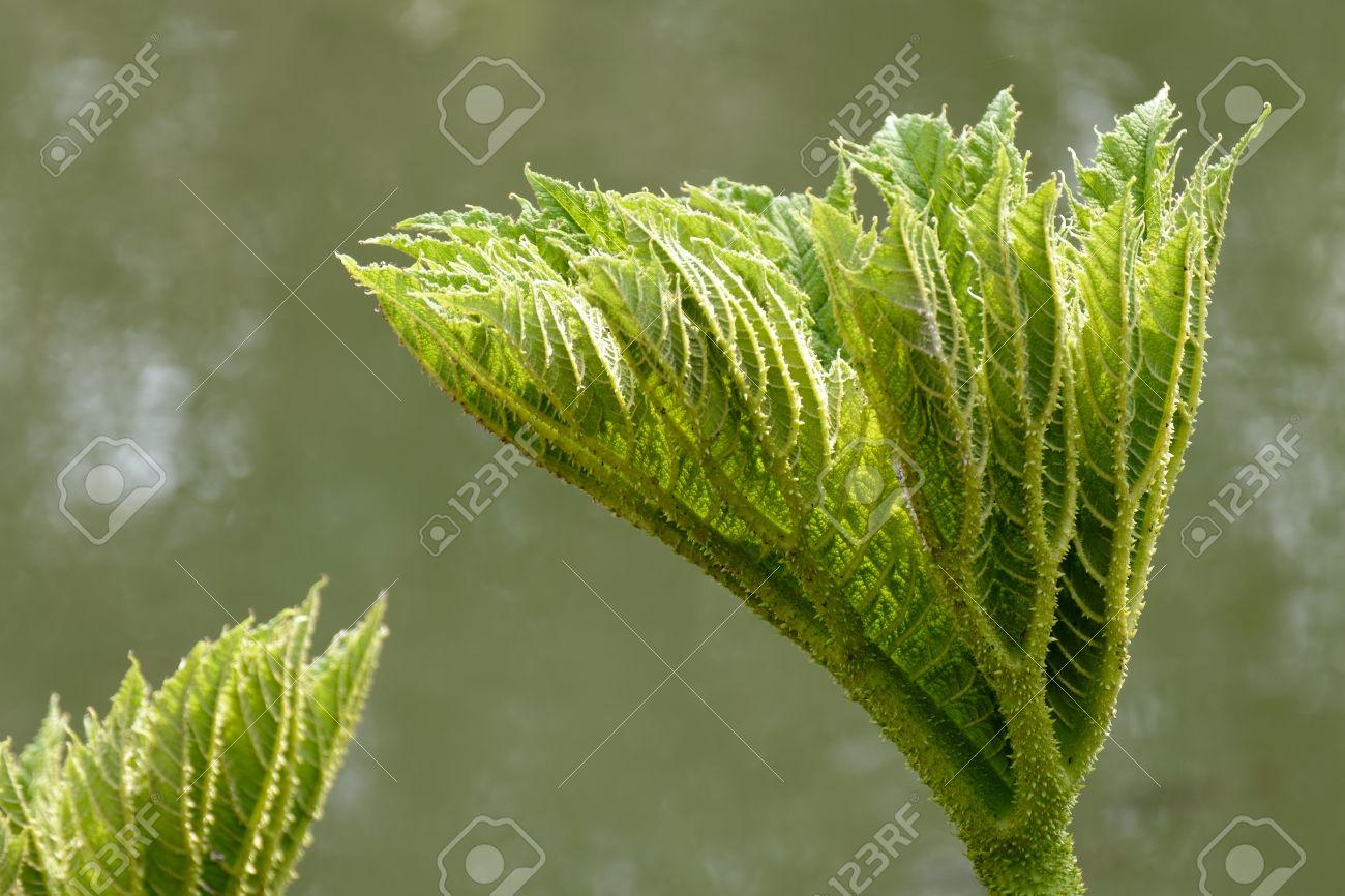 Botany Rhubarb Stock Photos & Pictures. Royalty Free Botany.