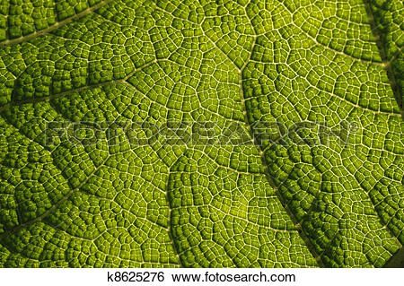 Stock Images of Giant rhubarb (Gunnera manicata) k8625276.