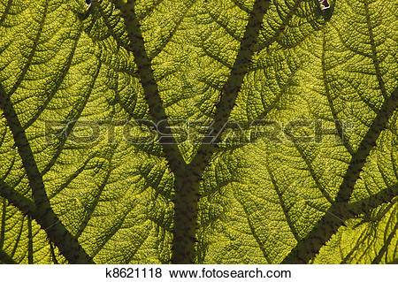 Pictures of Leaf of a Giant Rhubarb k8621118.