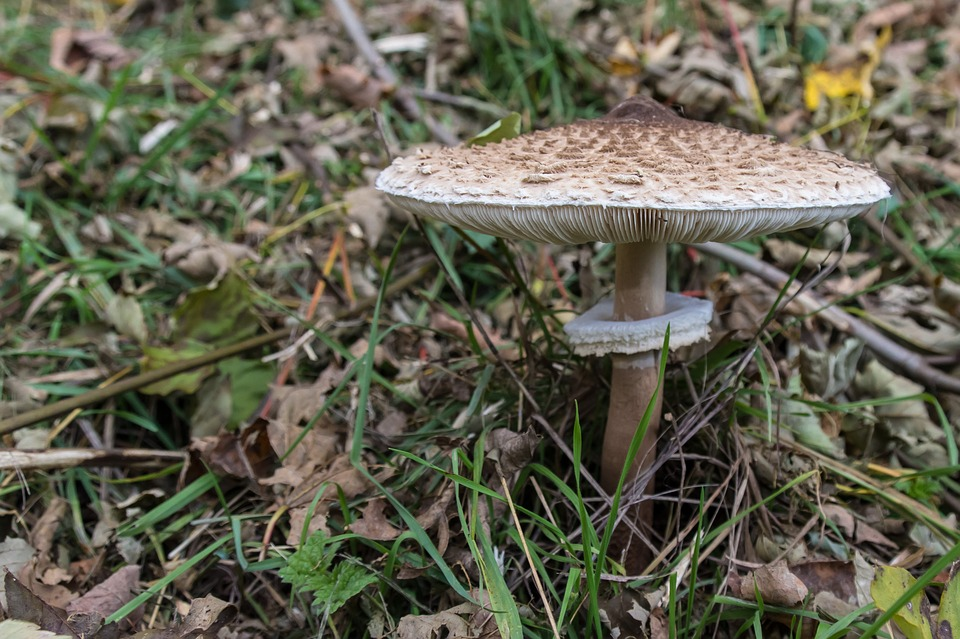 Free photo Mushroom Giant Screen Fungus Boletes Ring.