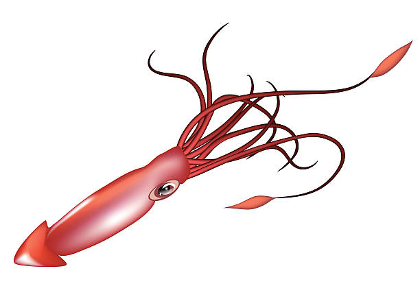 Best Colossal Squid Illustrations, Royalty.