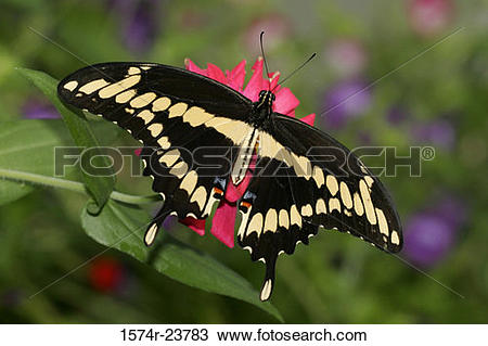 Stock Photo of High angle view of a Giant Swallowtail Butterfly on.