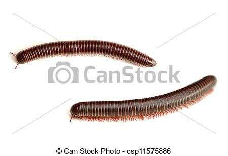 Pictures of Millipede.