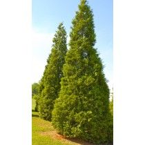 1000+ ideas about Thuja Baum on Pinterest.