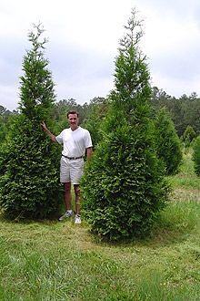Thuja Green Giant Arborvitae.