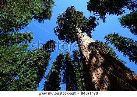 Redwood Tree Stock Photos, Royalty.