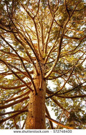 Redwood Stock Images, Royalty.