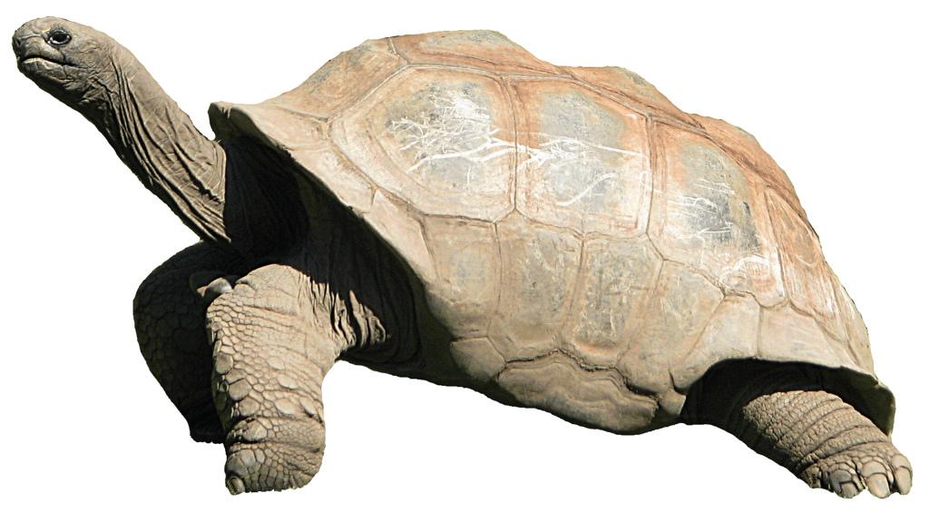 giant tortoise clip art lge 13.6cm high.