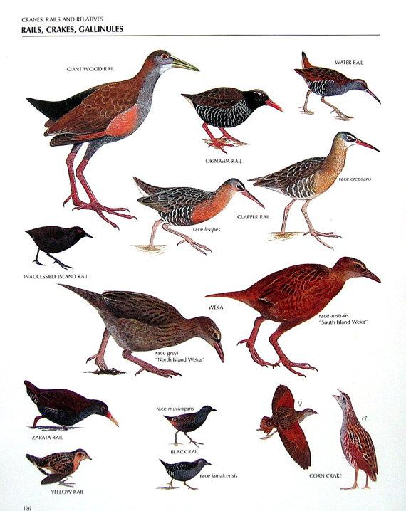 Vintage Bird Print.