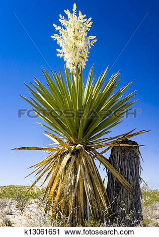 Stock Photography of Giant Dagger Yucca k13061651.