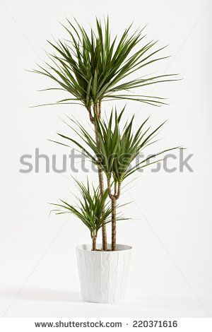 """yucca Plant"" Stock Photos, Royalty."