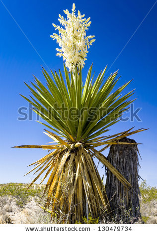 Yucca Plant Stock Images, Royalty.