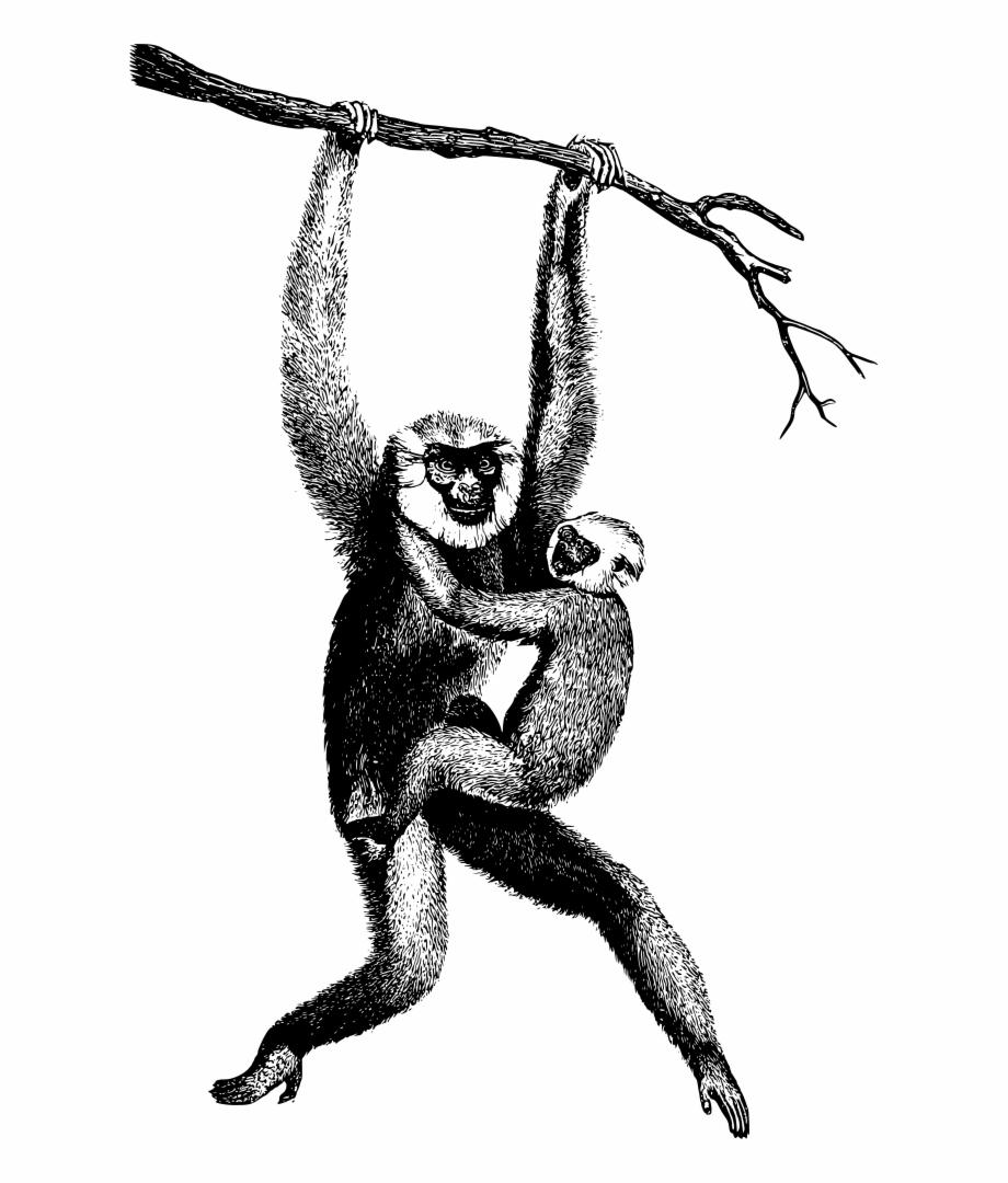 Chimpanzee Drawing Spider Monkey Gibbon Clipart.