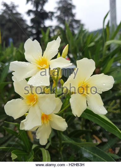 Yellow Oleander Stock Photos & Yellow Oleander Stock Images.
