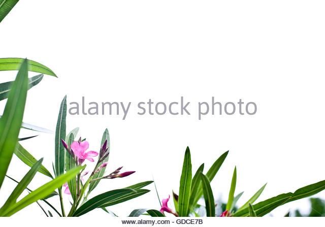Nerium Oleander Stock Photos & Nerium Oleander Stock Images.