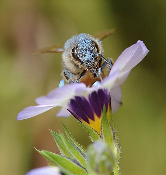 Honey bee covered with blue pollen from bird's eyes (Gilia.