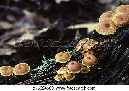 Stock Photograph of Gilled Mushrooms, Marasmius sp, on rotting log.
