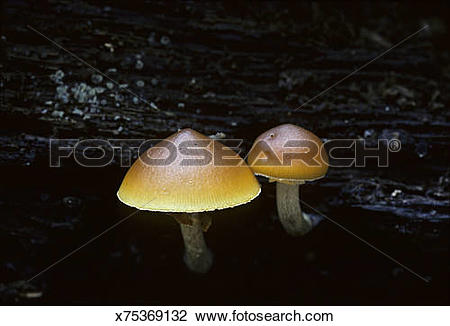 Stock Photo of Gilled decomposer mushrooms x75369132.
