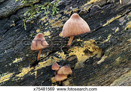 Stock Photograph of Gilled decomposer mushrooms on rotting log.
