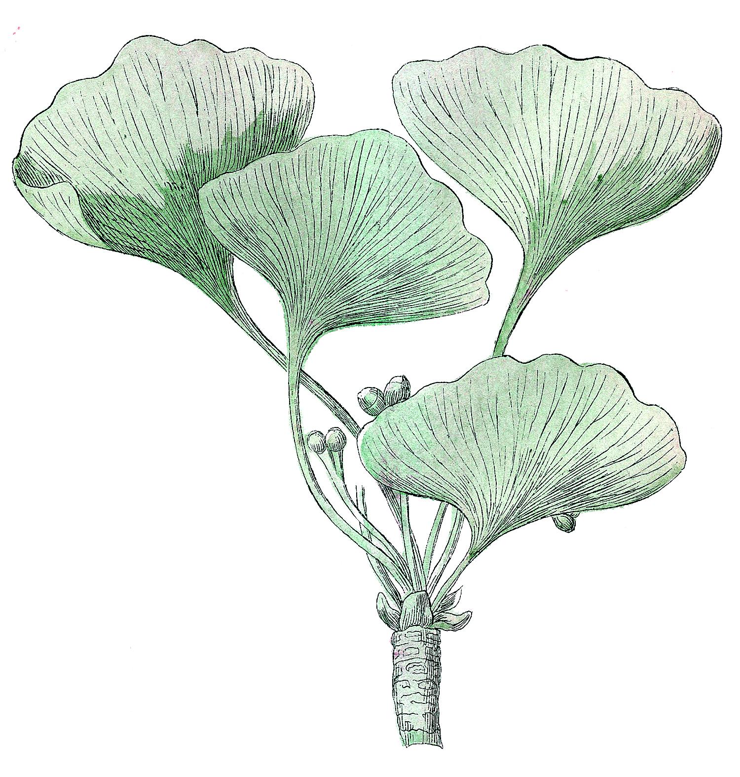 Ginkgo Leaves Clip Art.