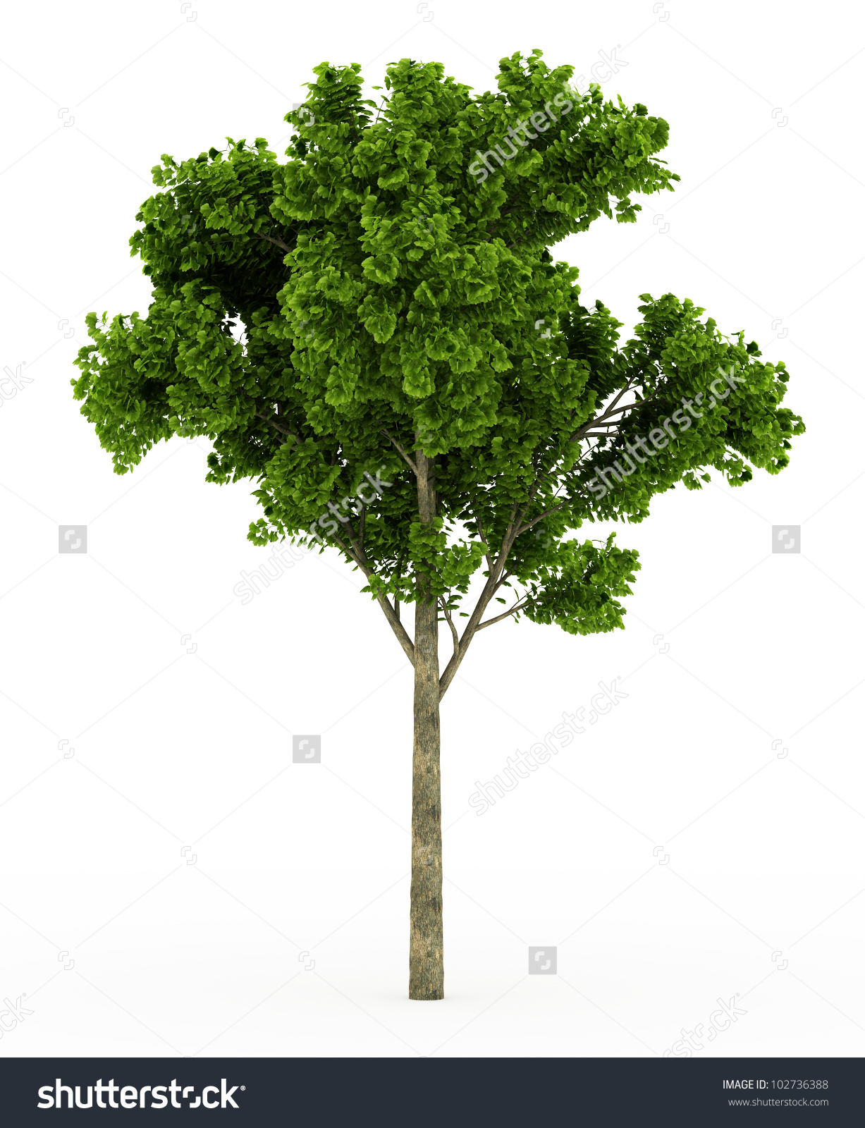 Ginkgo tree clipart.
