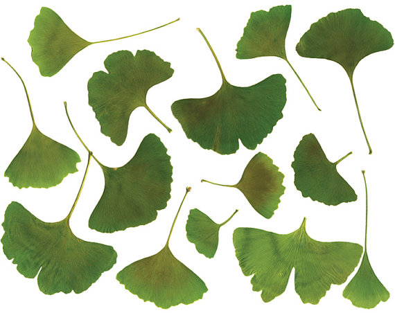 Clip art GINKGO LEAF. Clipart. Real leaves. High by.