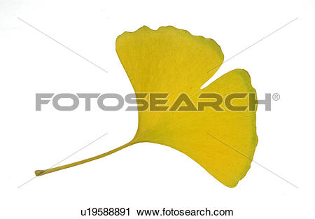 Stock Photography of The Leaf Of A Ginkgo Tree u19588891.