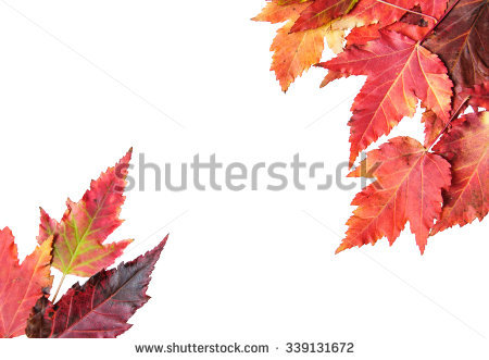 Single Autumn Isolated Sycamore Stock Photos, Royalty.