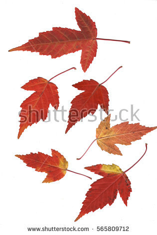Acer Ginnala Stock Images, Royalty.