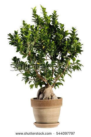 Ficus Bonsai Stock Photos, Royalty.