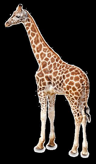 Girafas png 1 » PNG Image.