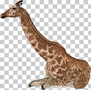 4 giraffas PNG cliparts for free download.