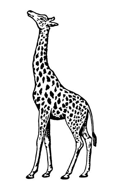 Best Giraffe Black And White Illustrations, Royalty.