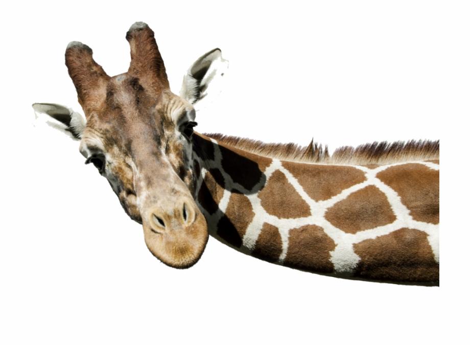 Giraffe Png Free Background.