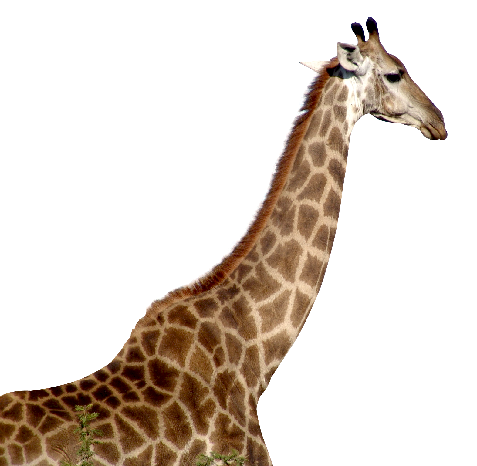 Giraffe PNG Transparent Images.