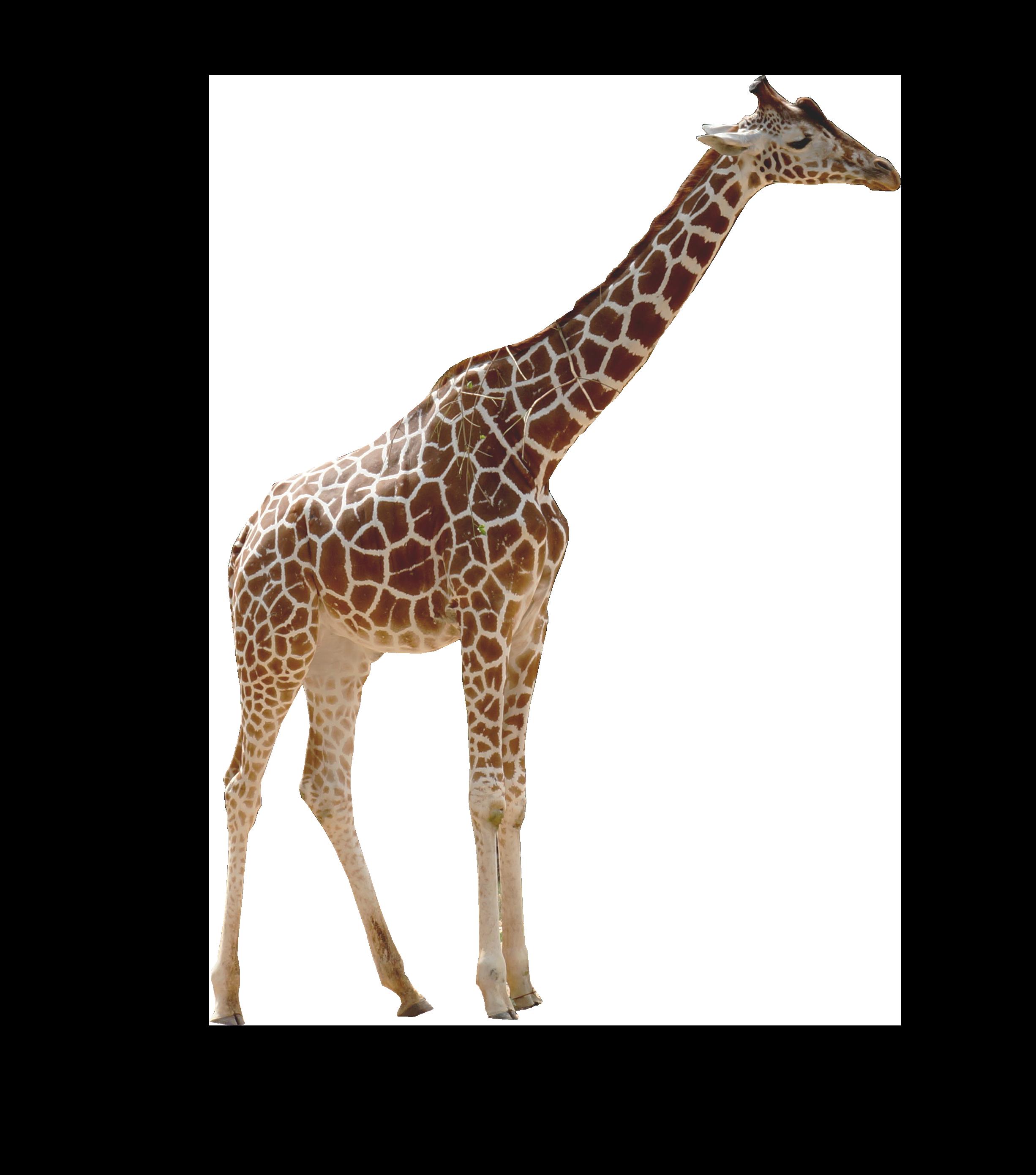 Giraffe PNG Image.