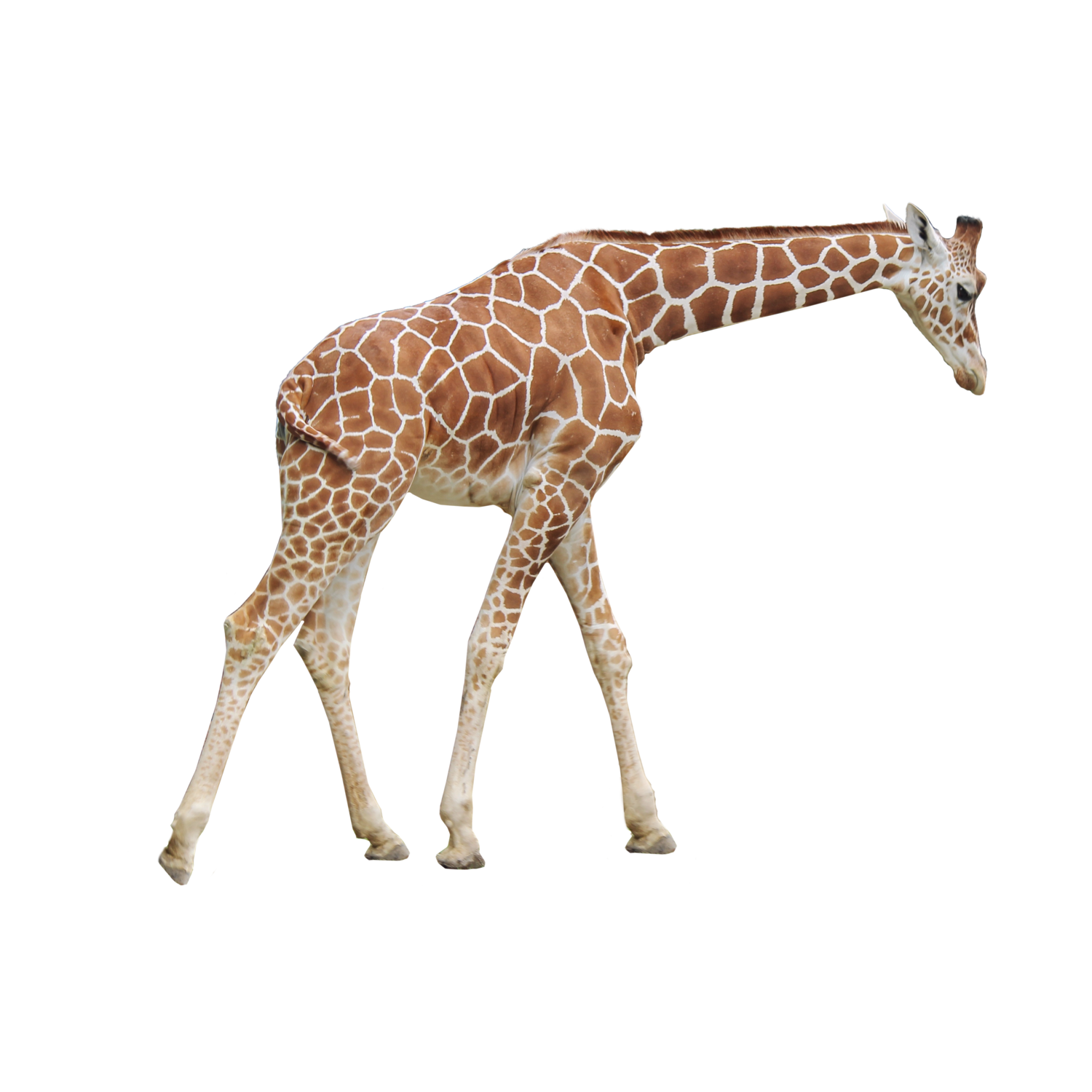 Giraffe PNG Transparent Images, Pictures, Photos.