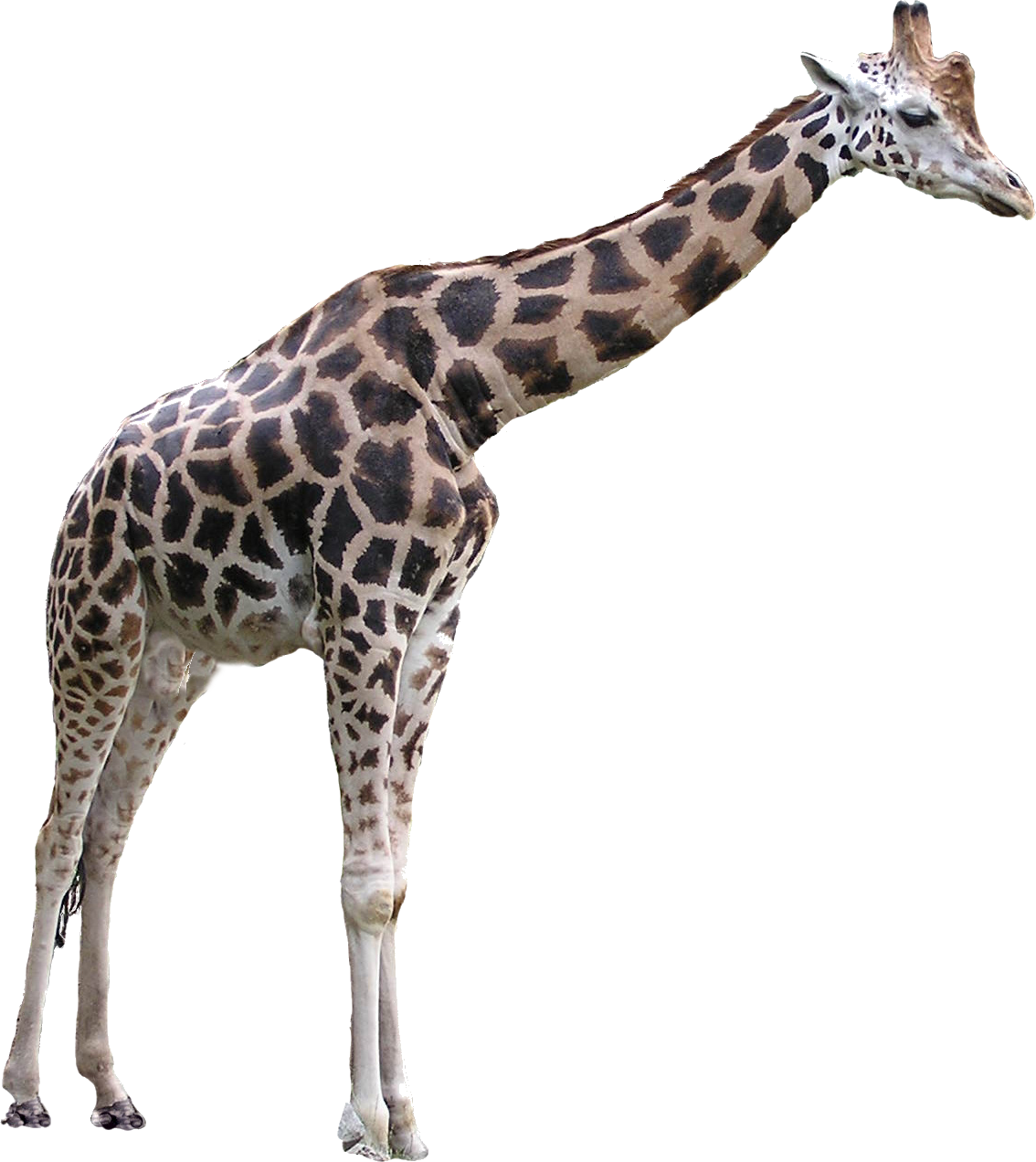 Giraffe PNG images free download.