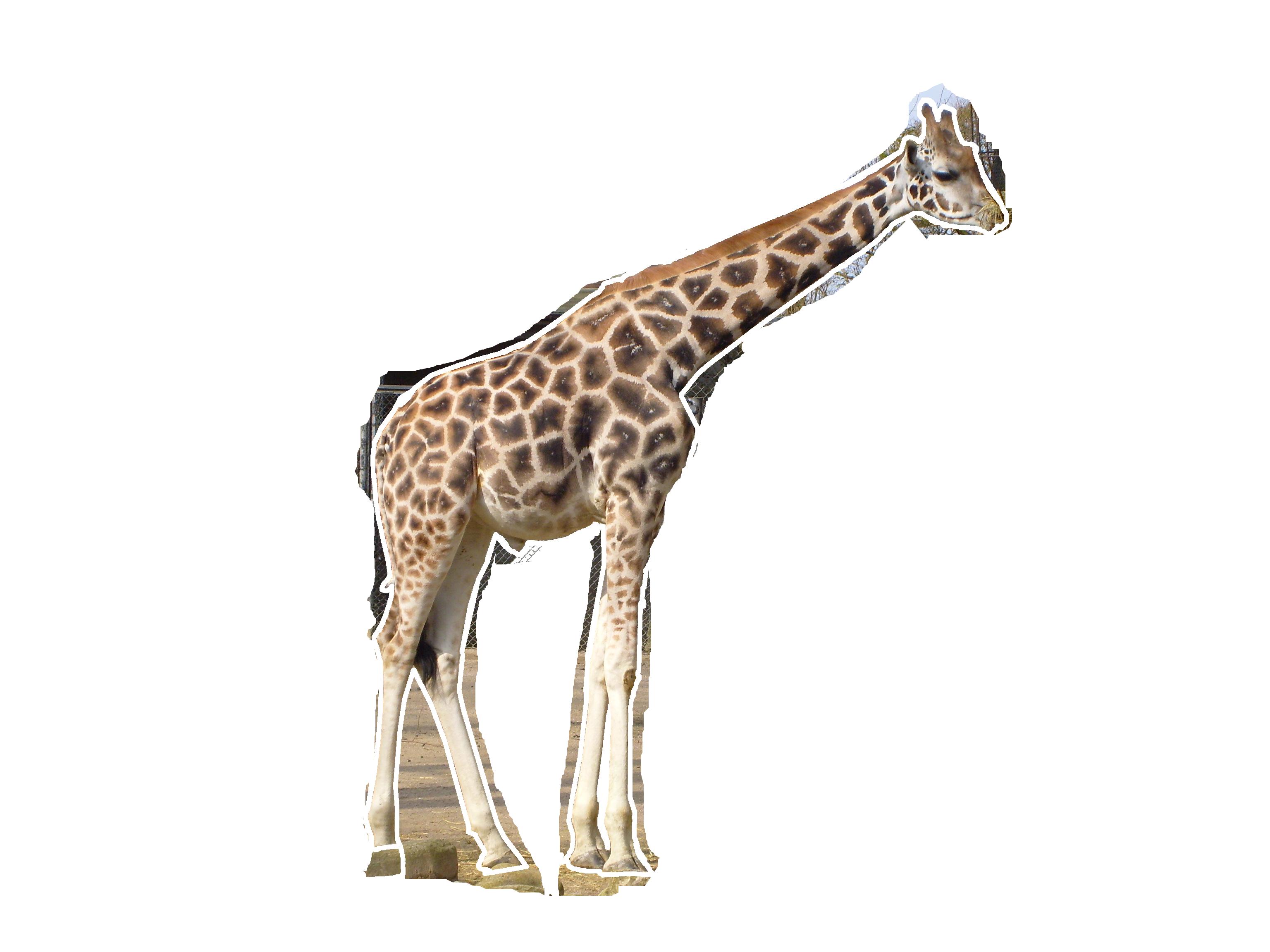 PNG HD Giraffe Transparent HD Giraffe.PNG Images..