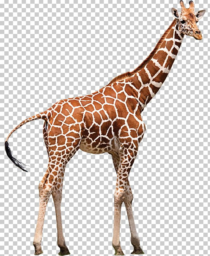 Northern Giraffe Neck Zoo Animal PNG, Clipart, Animal, Animal Figure.