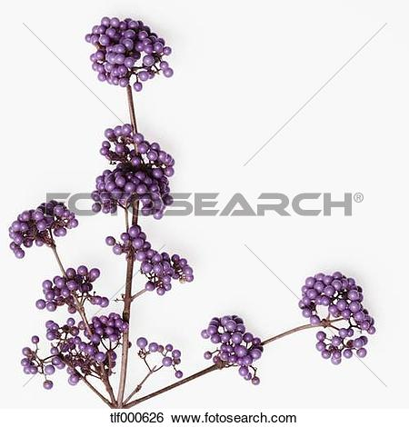 Stock Images of Callicarpa Giraldii on white background, close up.
