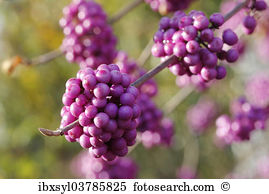 Beautyberry Images and Stock Photos. 73 beautyberry photography.