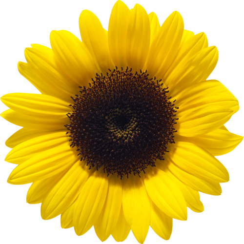 Girasol Png (109+ images in Collection) Page 3.