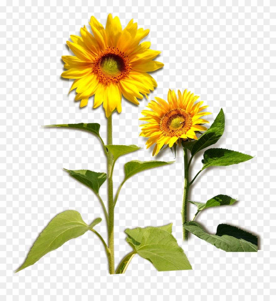 Common Sunflower Plant Download.